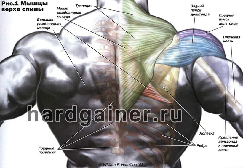Как накачать ромбовидную мышцу спины в домашних условиях