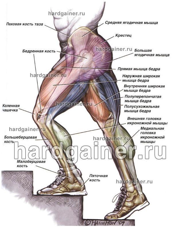 Мышца Непроизвольная